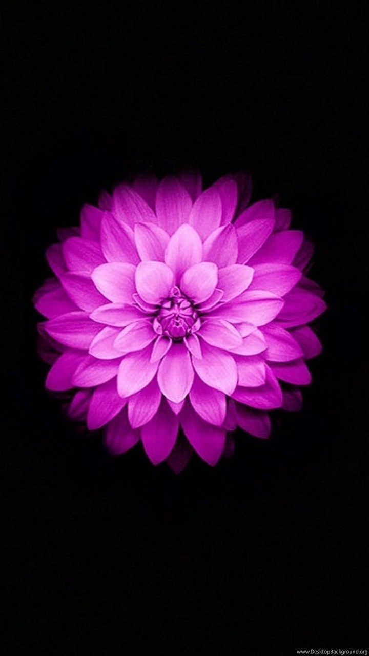 Apple iphone 6 and iphone 6s wallpapers with purple lotus flower fullscreen izmirmasajfo Gallery