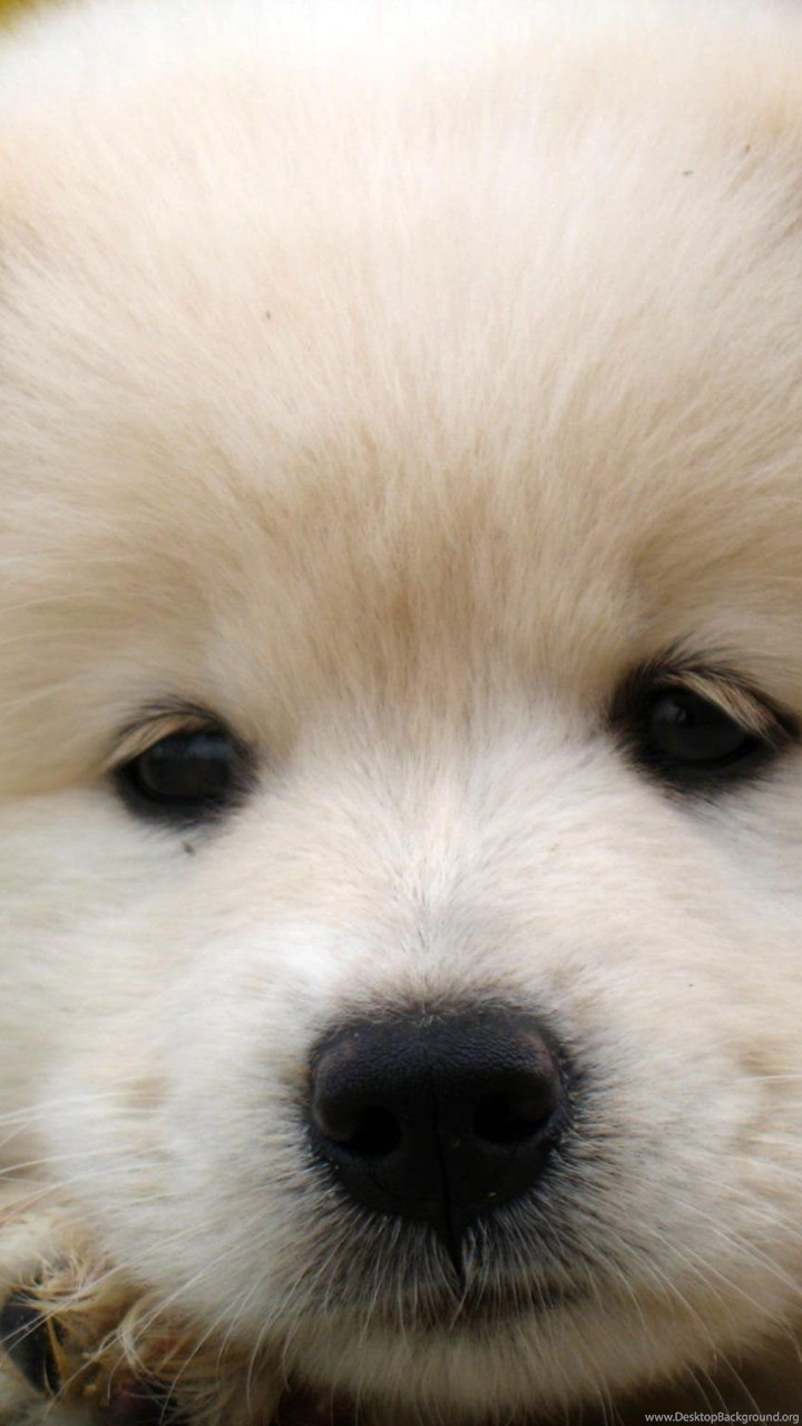 Samoyed Dog Dogs Canine Baby Puppy Wallpapers Desktop Background