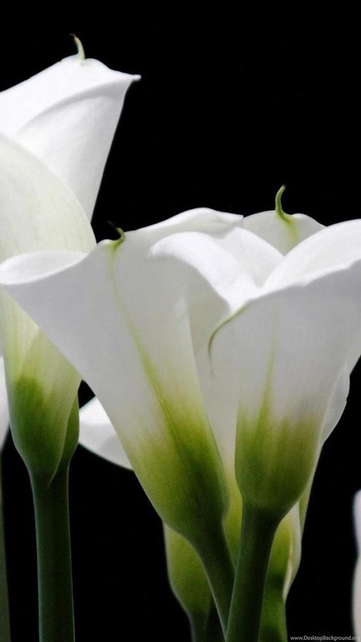 Calla lilies flowers bright close up hd wallpapers desktop background fullscreen izmirmasajfo