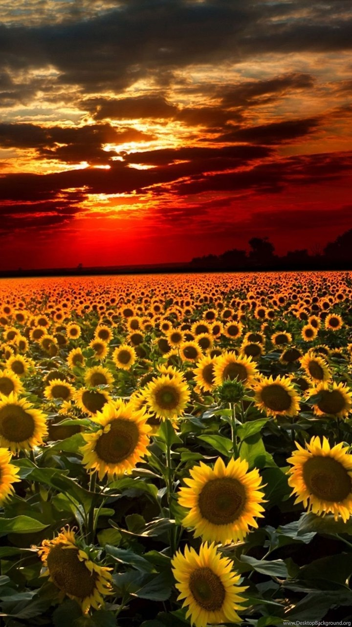 Gallery For Sunflowers Wallpaper Backgrounds Desktop