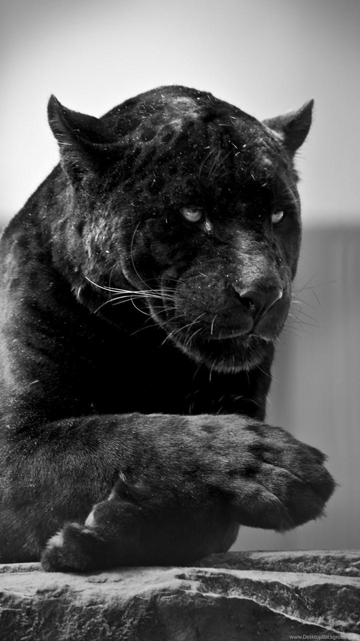 Black jaguar 001 by constant wegman on deviantart desktop background fullscreen voltagebd Choice Image