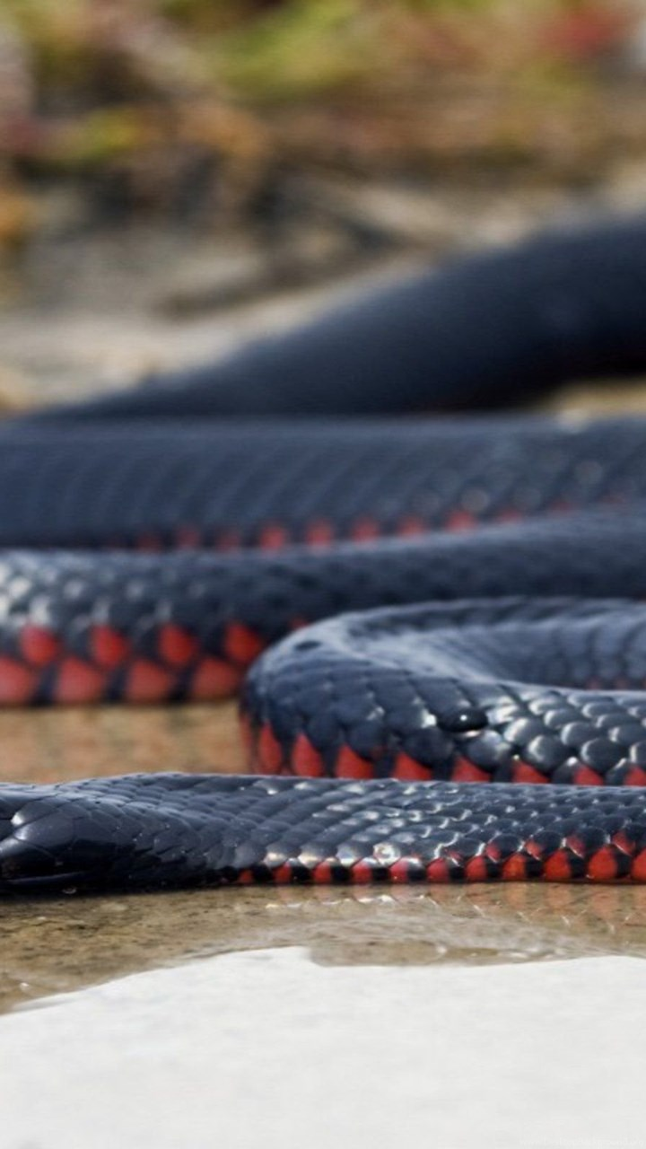 Black Mamba Snake Wallpapers New