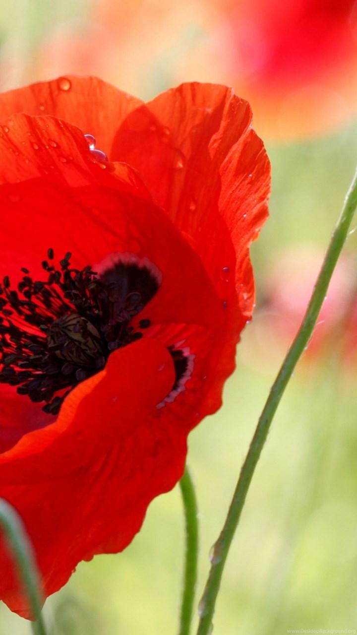 Download Wallpapers 3840x2160 Poppy Flower Bud Stamens Field