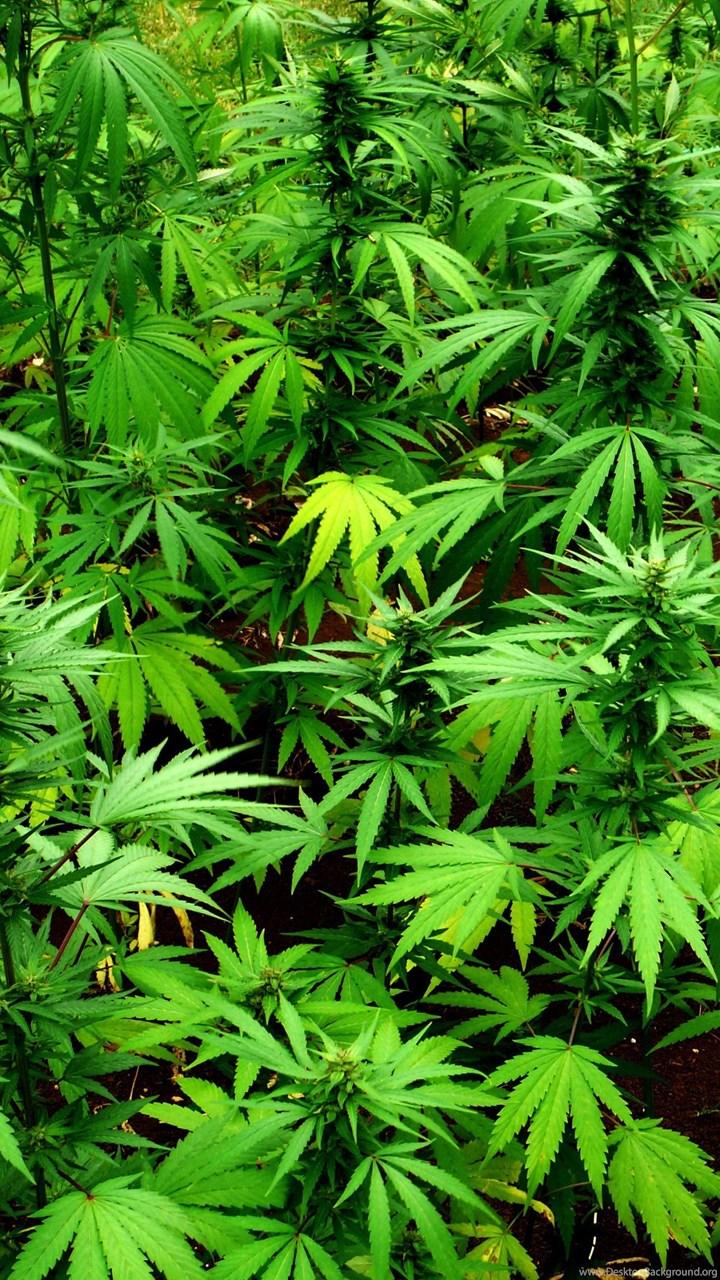 Marijuana 420 Weed Mary Jane Drugs Wallpapers Desktop ...