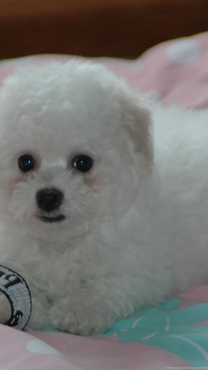 Puppy Bichon Frise On The Bed Wallpapers And Images Wallpapers Desktop Background