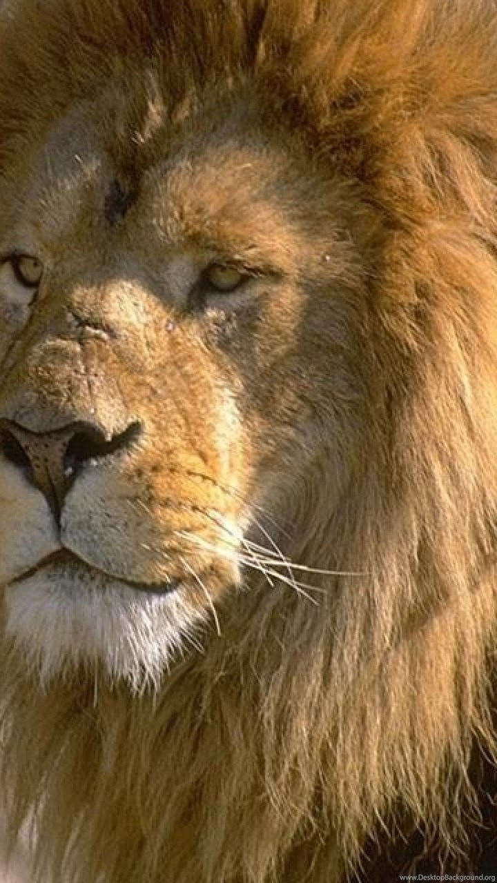Images Of Asiatic Lion Hd Wallpapers And Pictures Desktop Background