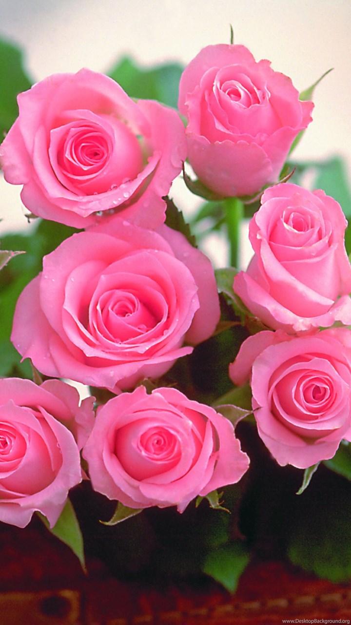 Beautiful Rose Flower Wallpapers Desktop Backgrounds For Desktop