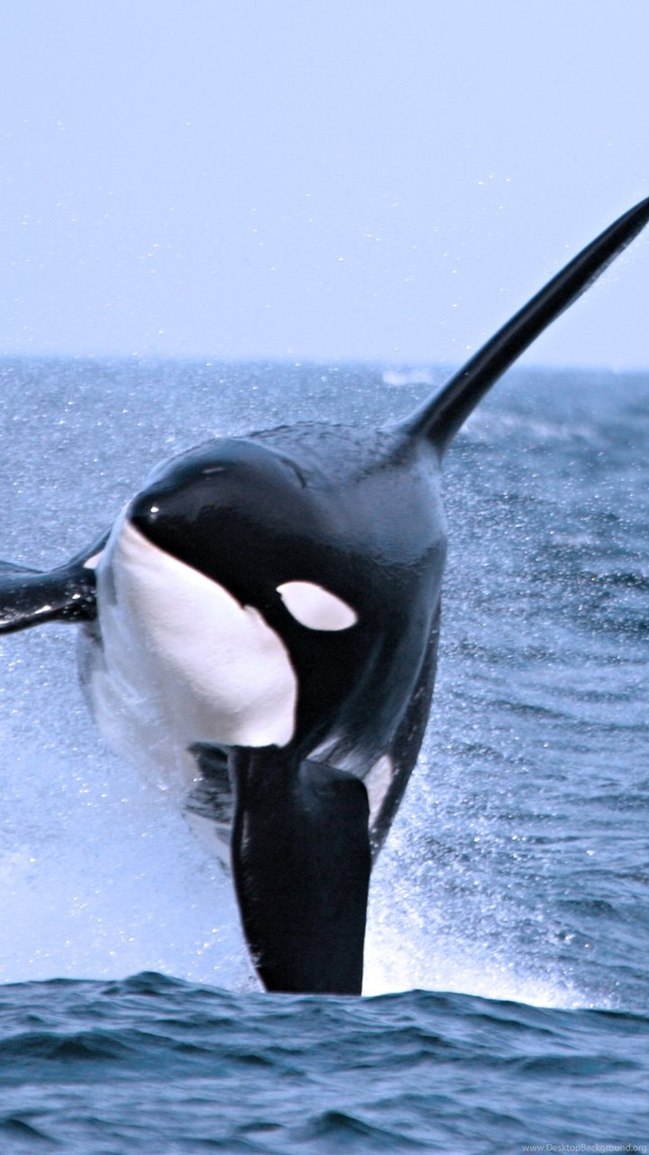 Killer Whale Cool Backgrounds Wallpapers 12199 Amazing Wallpaperz Desktop Background
