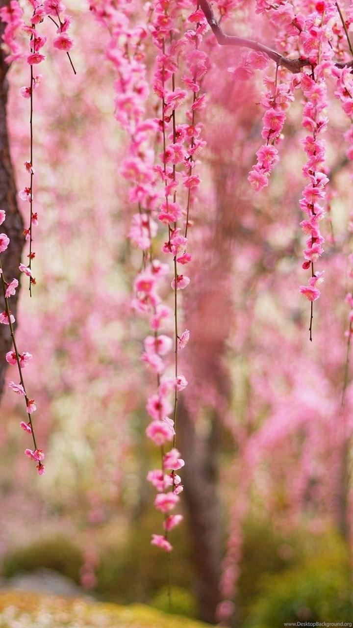 beautiful spring  pink flowers bloom  trees wallpaper