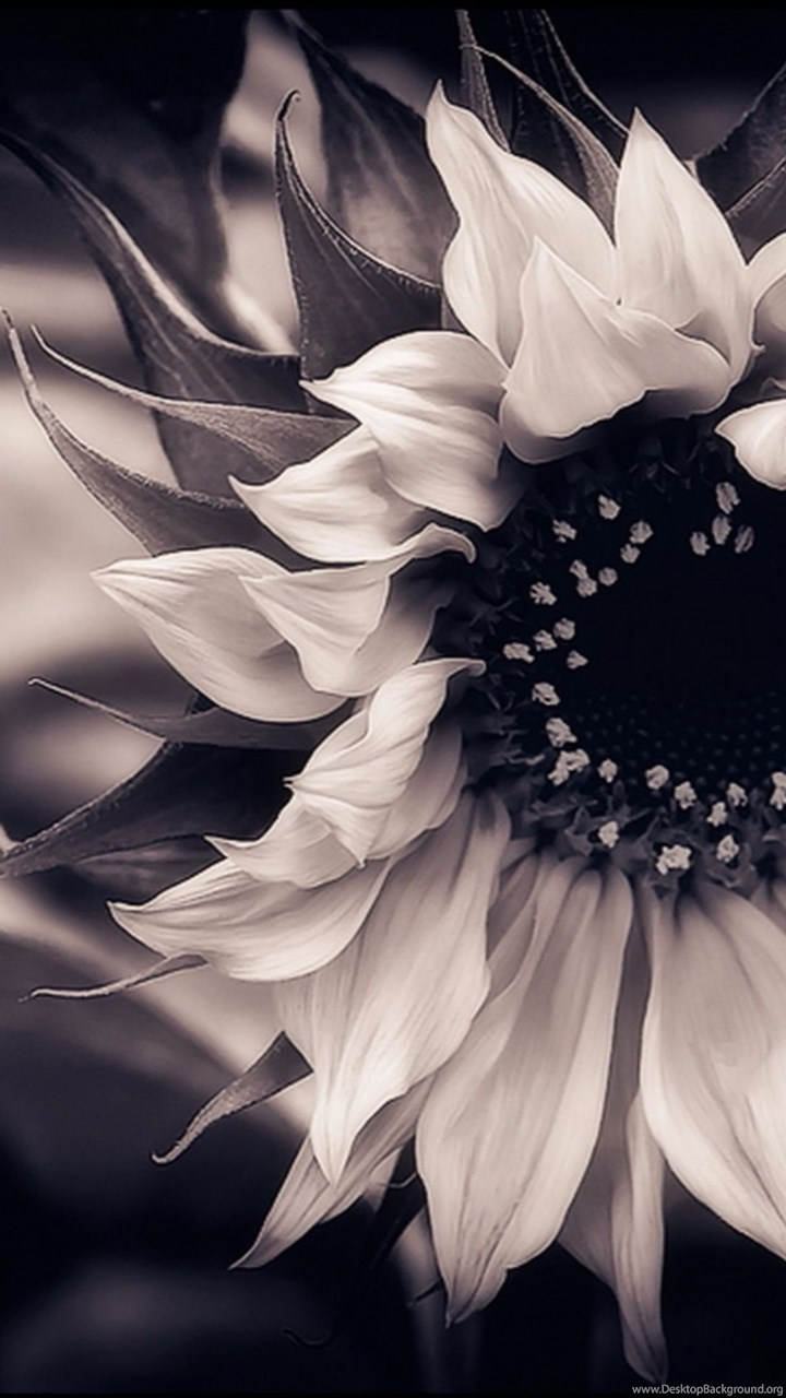 Amazing Black And White 4K Sunflower Wallpapers Desktop Background