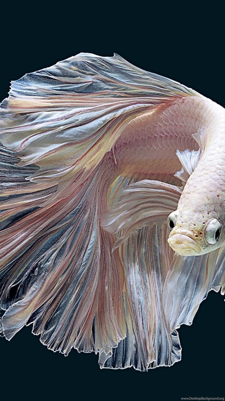Betta Fish HD Wallpapers Desktop Background