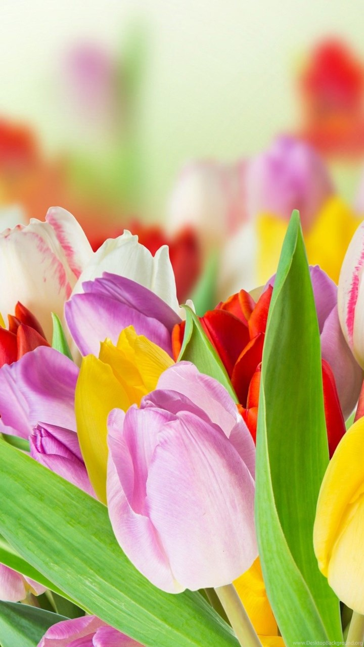 Free Colorful Flower Wallpaper Downloads: Spring Beauty Colorful Flowers Wallpapers HD Download