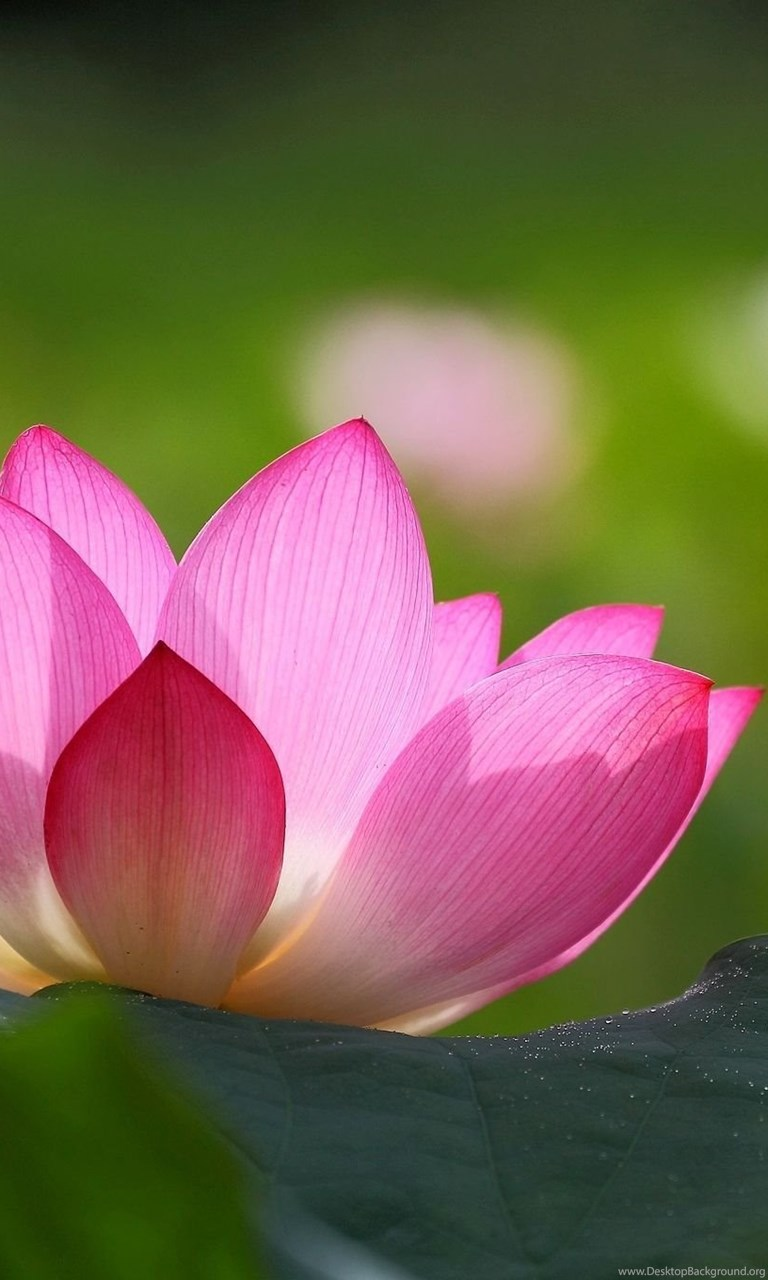 Lotus Flower Wallpaper Images Desktop Background