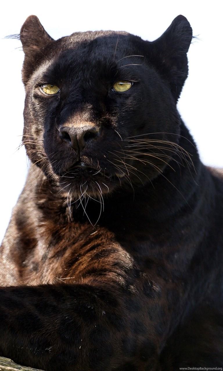 91 Black Panther Hd Wallpapers Desktop Background