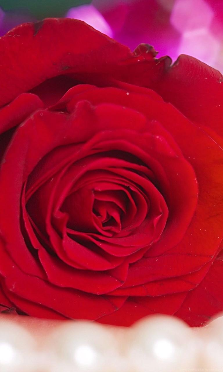 Red Rose Hd Wallpaper Red Rose Photos New Wallpapers Desktop