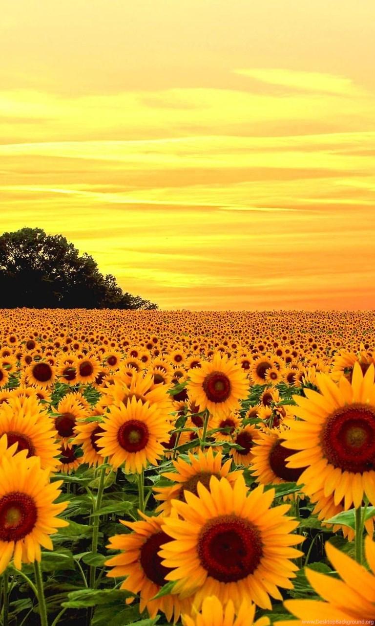 sunflower field wallpapers full hd desktop background