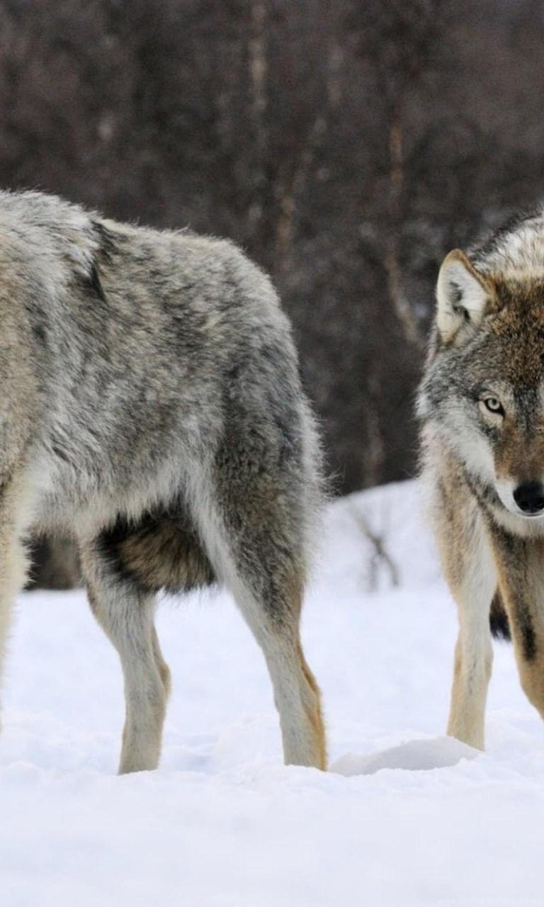 Wolf Pack Iphone 6 Plus Wallpapers Desktop Background