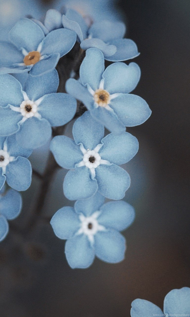 Pink Forget Me Not Flowers Wallpaperotherhealth Questions
