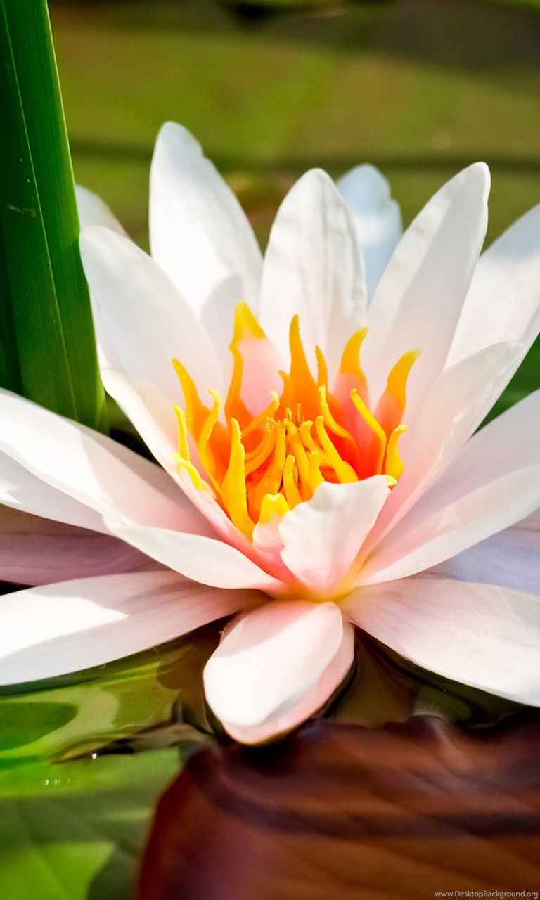 Hd White Lotus Picture Download Lotus Flower Pictures Images