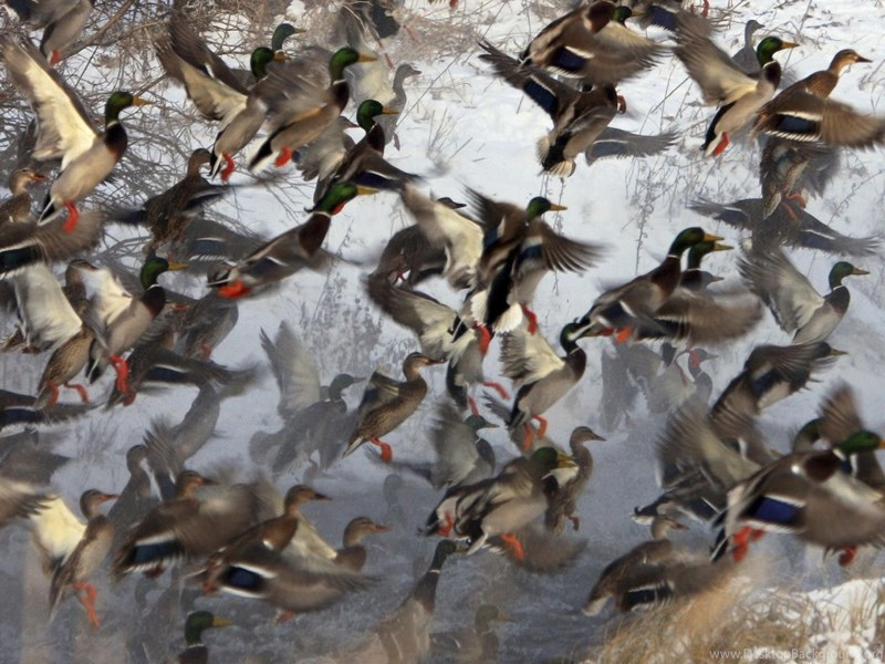 Ducks unlimited backgrounds computer
