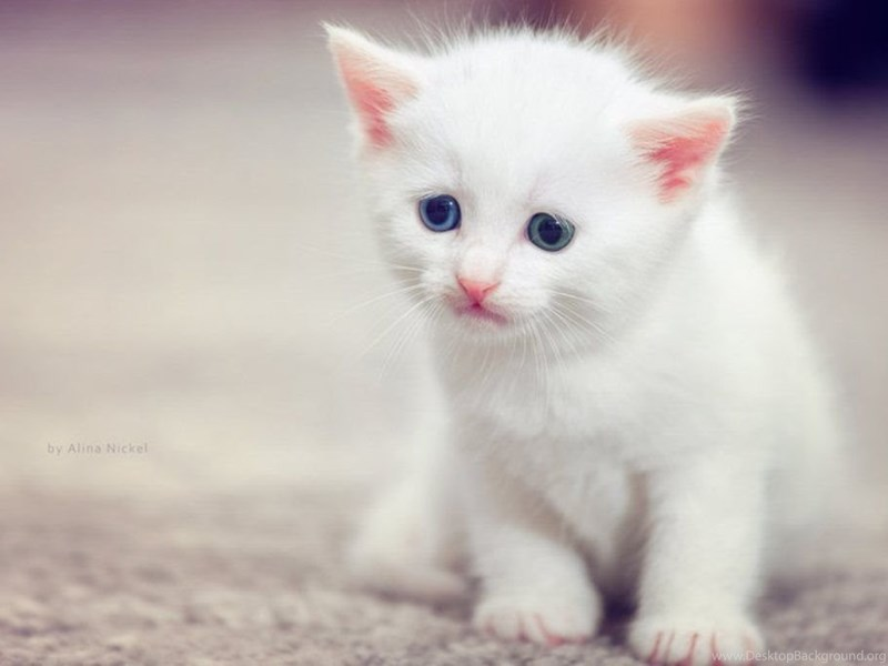 cute white cat wallpapers hd cute cats hd wallpapers image desktop