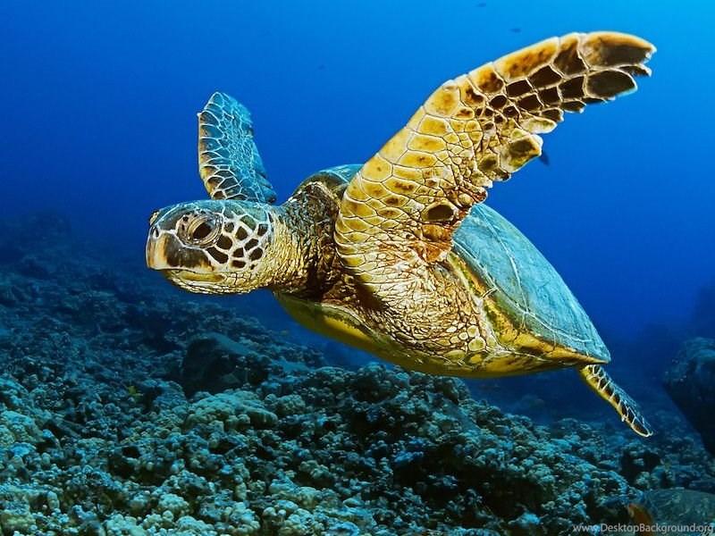 Sea Turtle HD Wallpapers Download Free Sea Turtle Tumblr ...