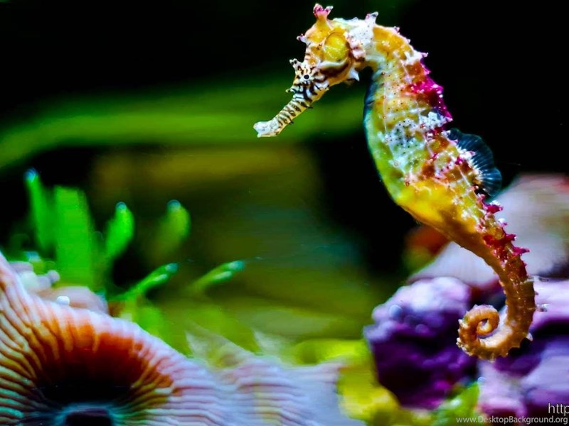 colorful seahorse wallpapers full hd desktop background