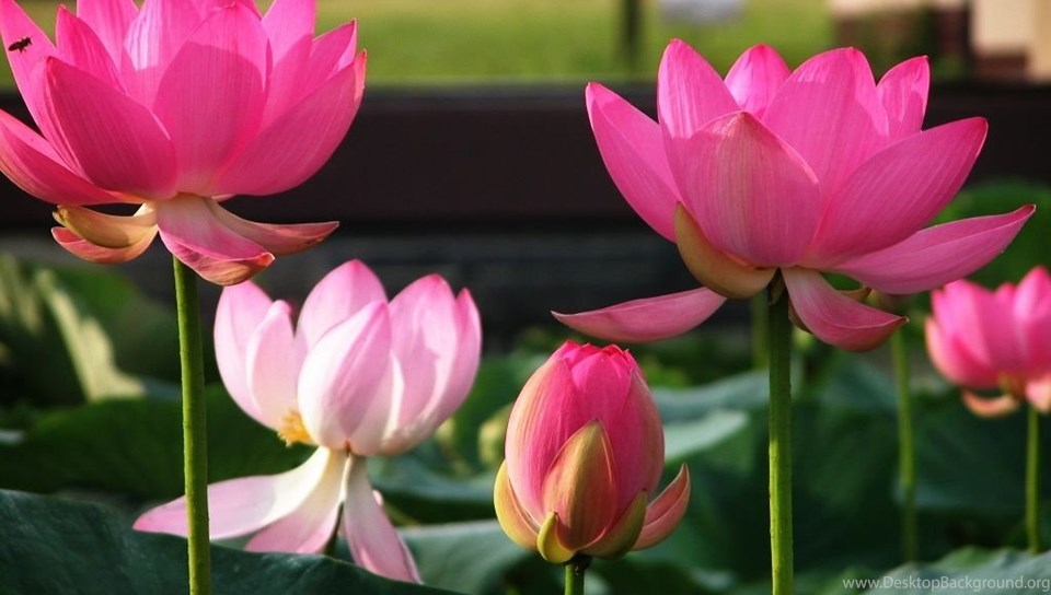 Lotus flower images free hd wallpapers pretty desktop background android mightylinksfo