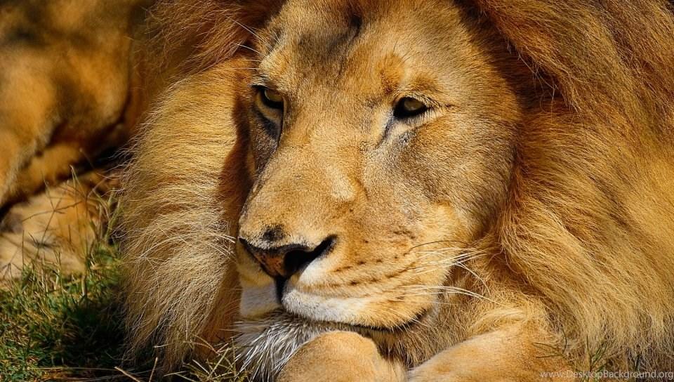 492429 lion hd desktop wallpapers high definition fullscreen