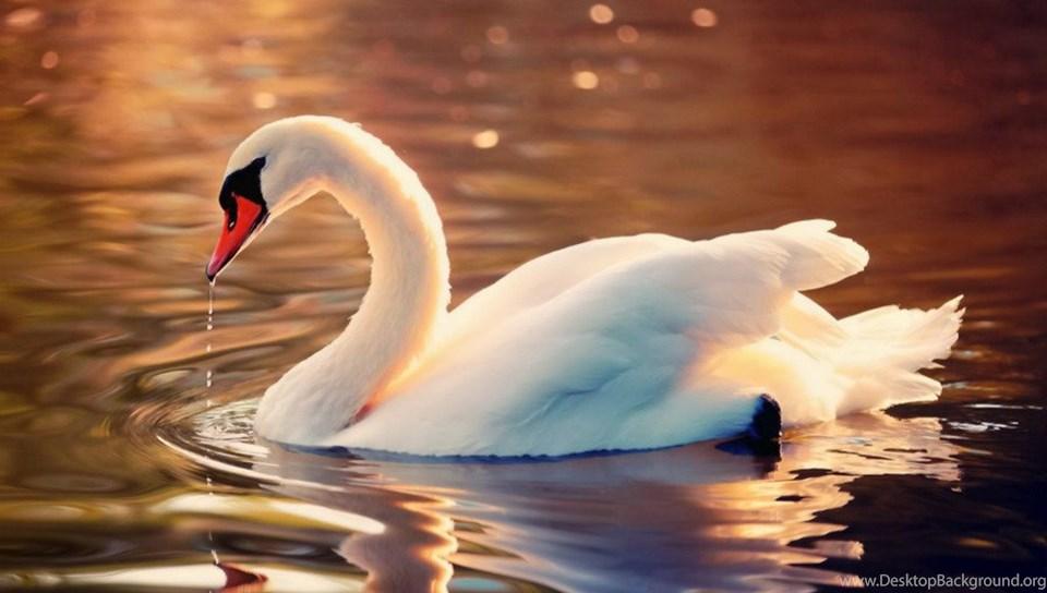 Swan wallpapers hd pictures desktop background - Swan wallpapers for desktop ...