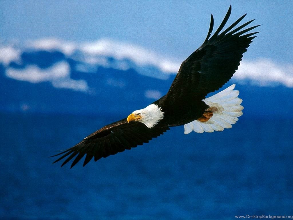 Free Bald Eagle Wallpapers Download Animals Town Desktop Background