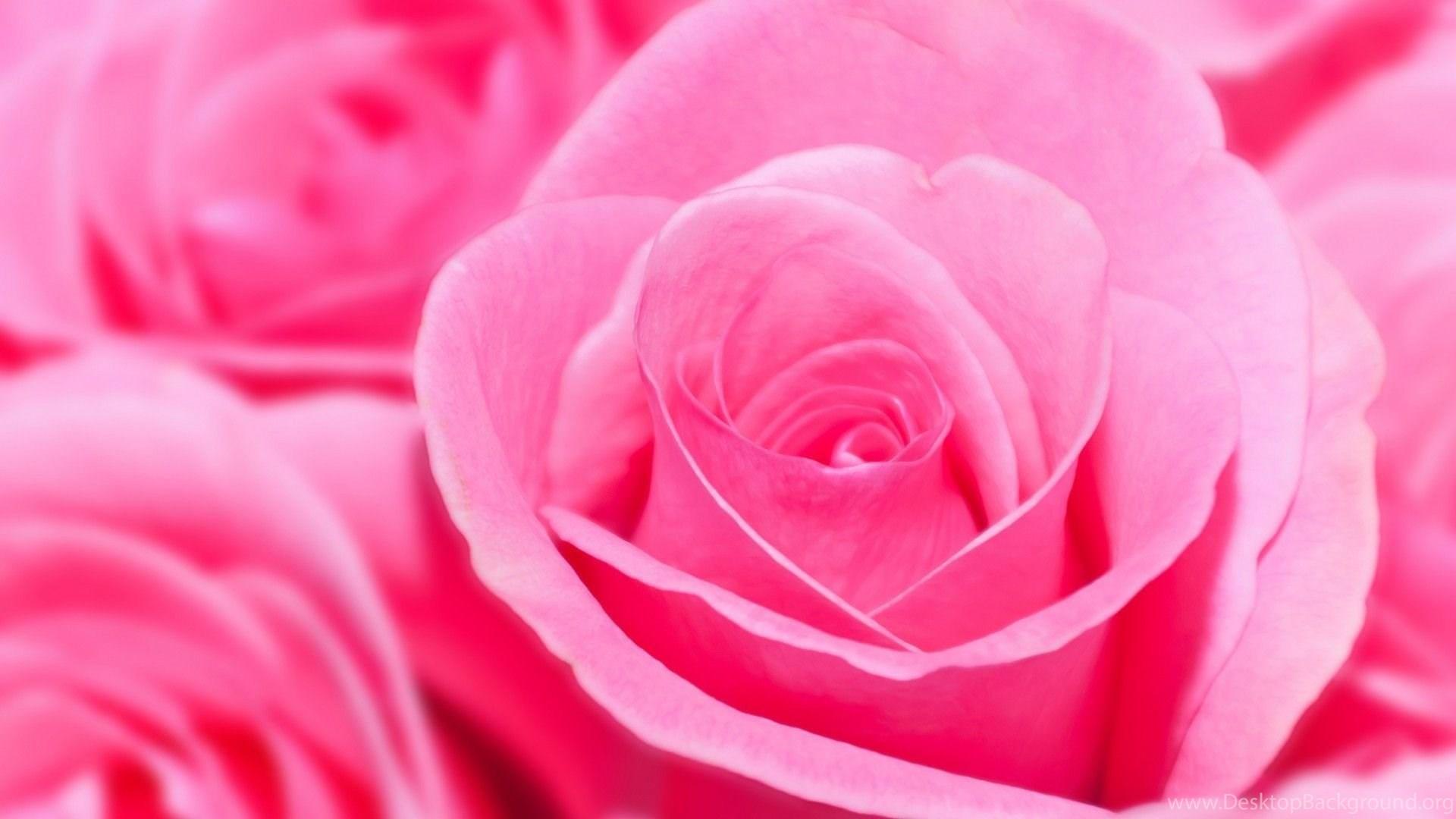 Pink Rose HD Wallpapers Desktop Background