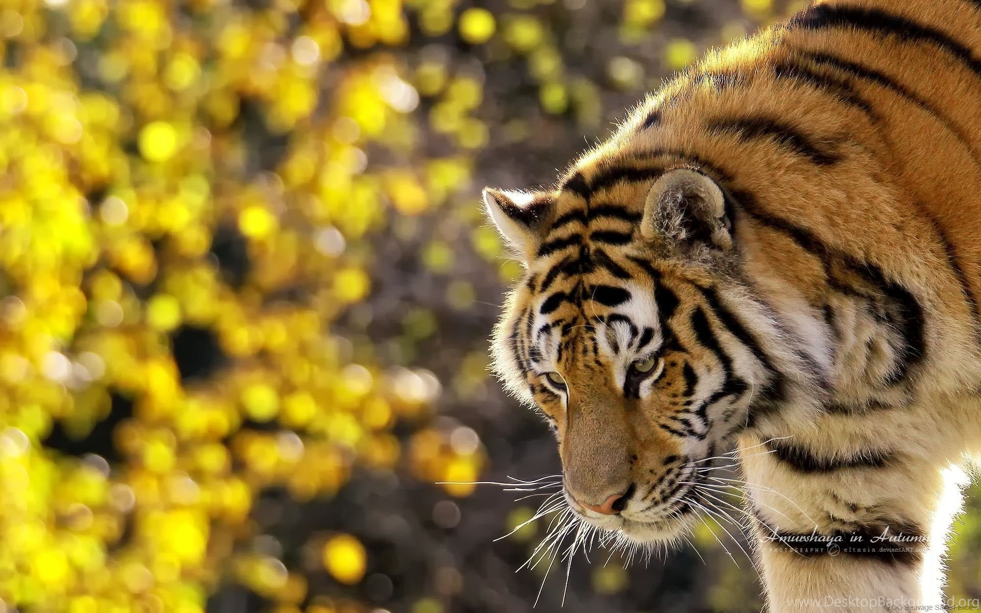 tiger windows backgrounds high resolution wallpapers / wallpapers