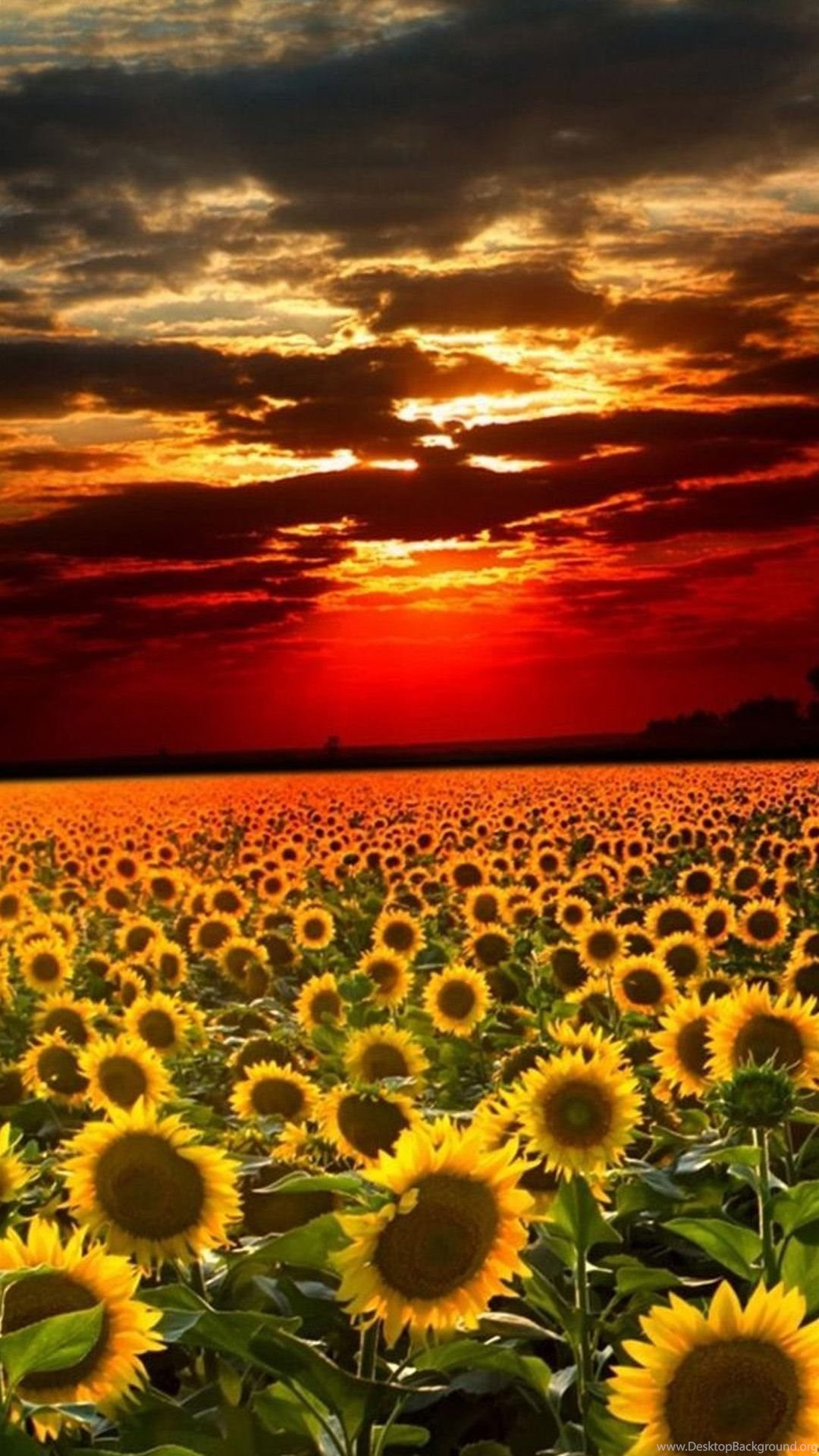 Sunflower Iphone Wallpapers For Laptops 10182 Hd Wallpapers Site