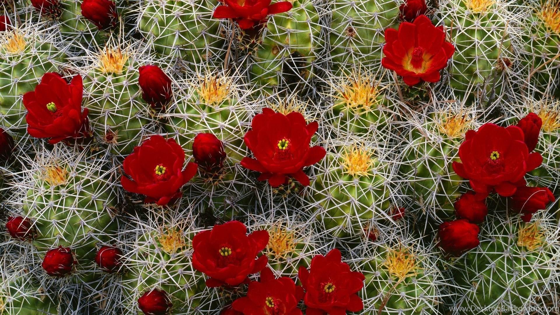 64 Cactus Hd Wallpapers Desktop Background