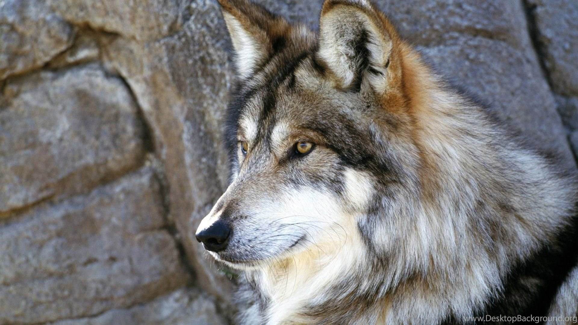 HD Quality Wild Wolf Wallpapers 3 Widescreen Backgrounds