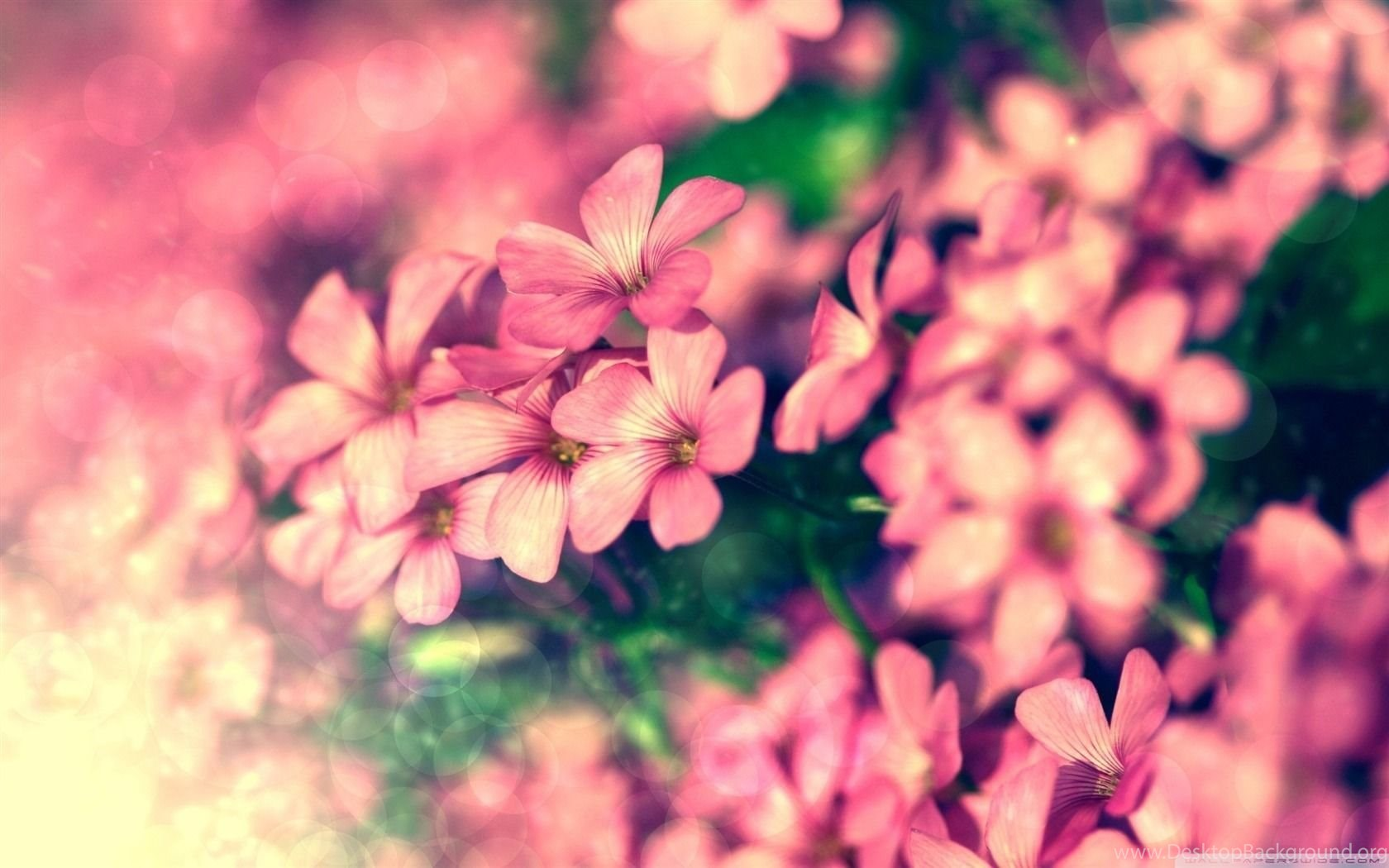 tiny pink flowers beautiful flowers desktop wallpapers 1680×1050