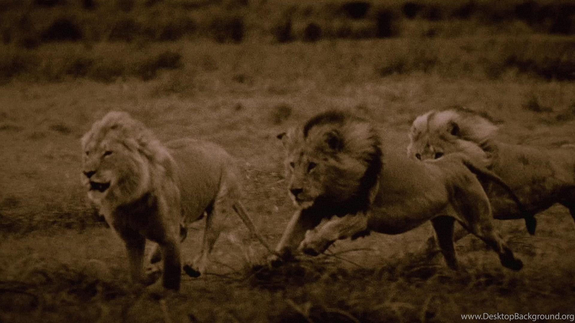 The Last Lions Desktop Background