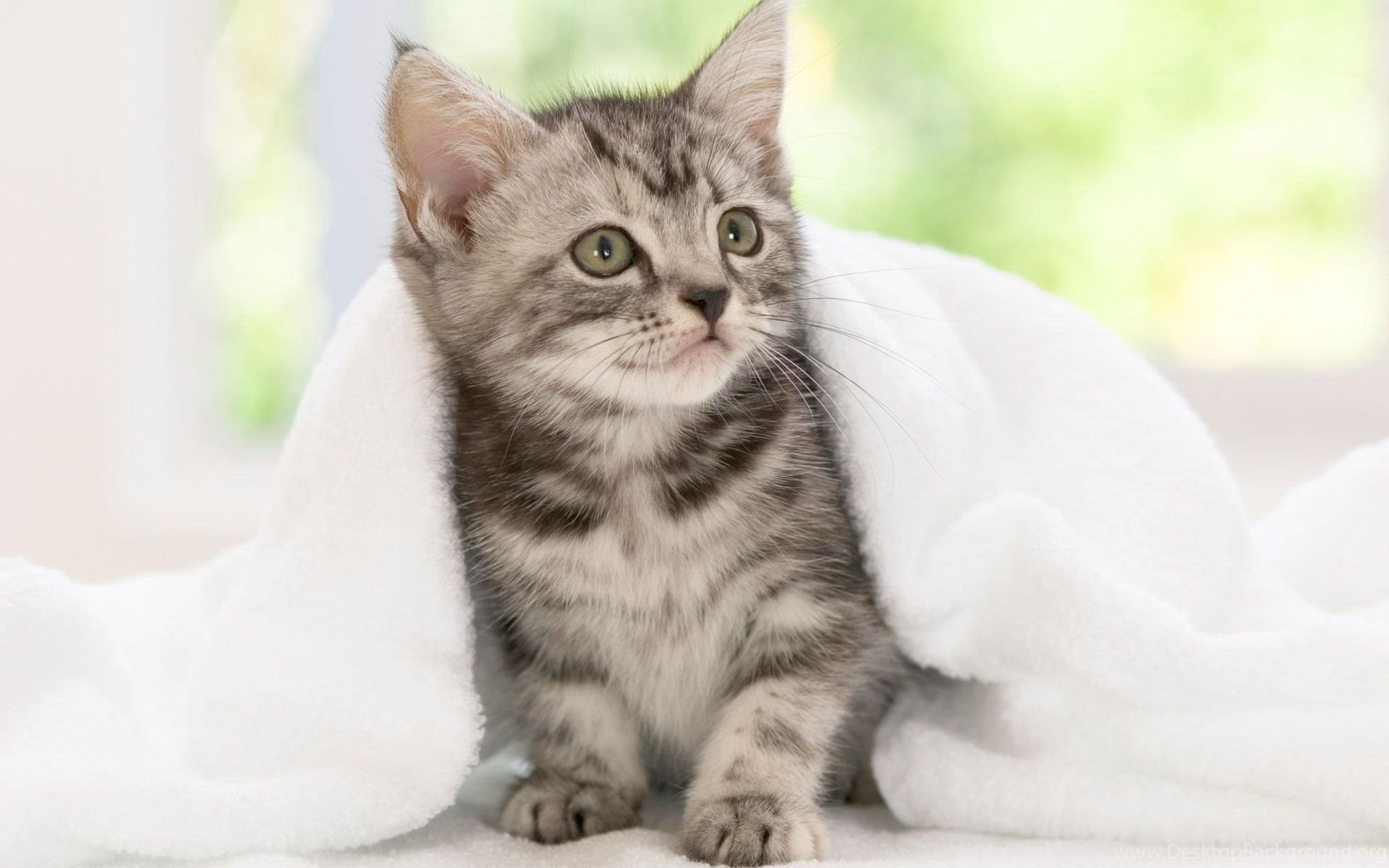 Small Cute Kittens Breeds Hd Wallpapers Best Quality Wallpapers