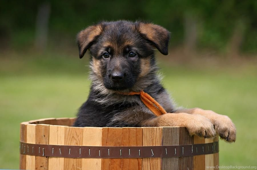 German Shepherd Puppy Desktop Wallpapers And Images Desktop Background