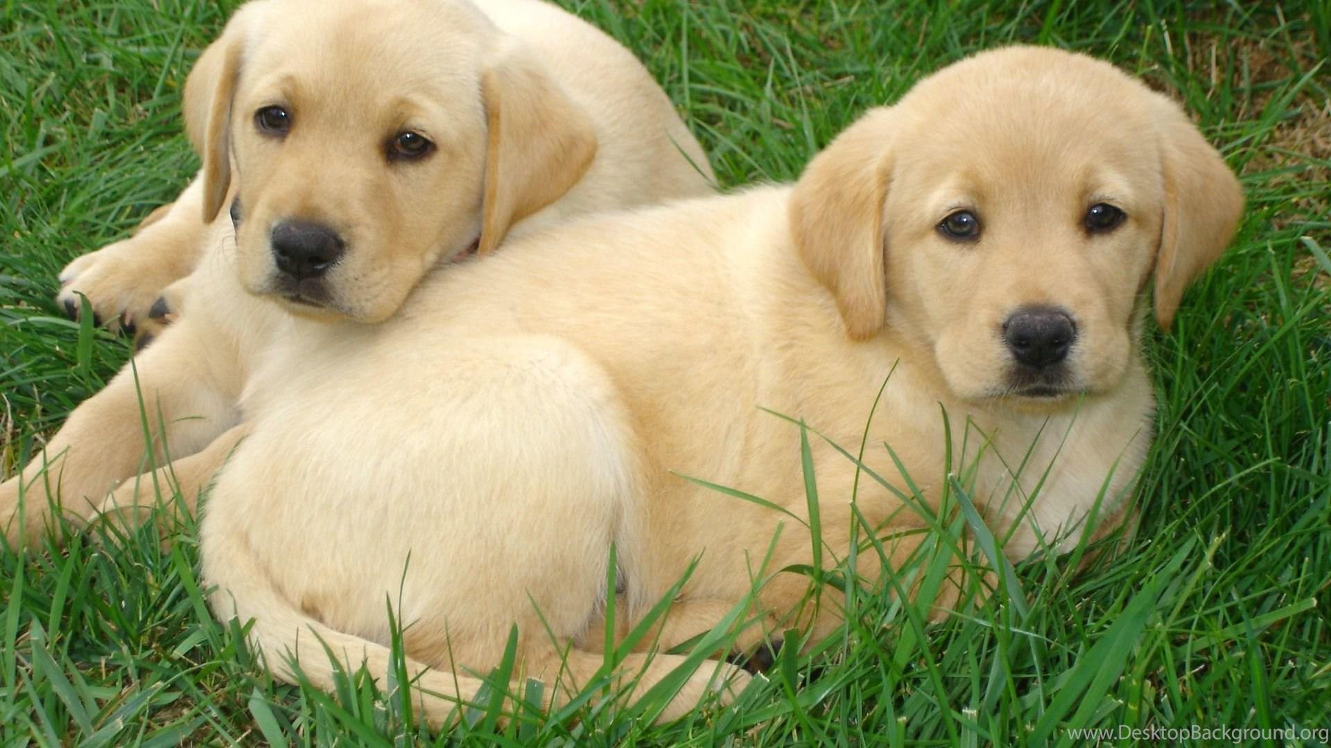labrador retriever puppies free hd wallpapers desktop background