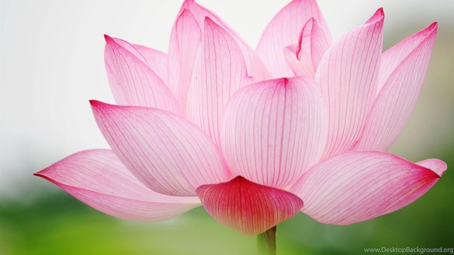 White Lotus Flower Wallpapers Hd Desktop Background