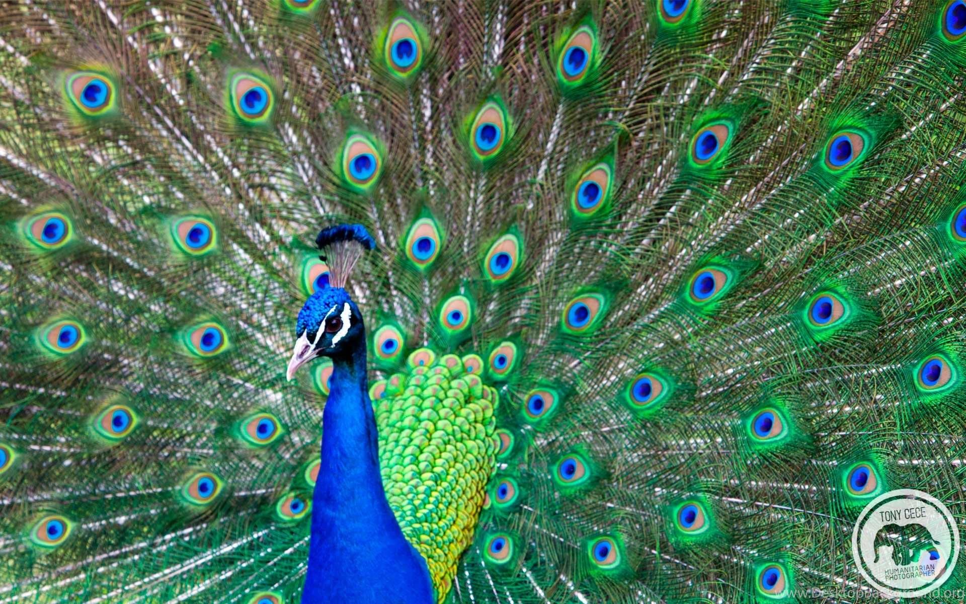 Peacock Wallpaper Beautiful Hd Jpg Desktop Background
