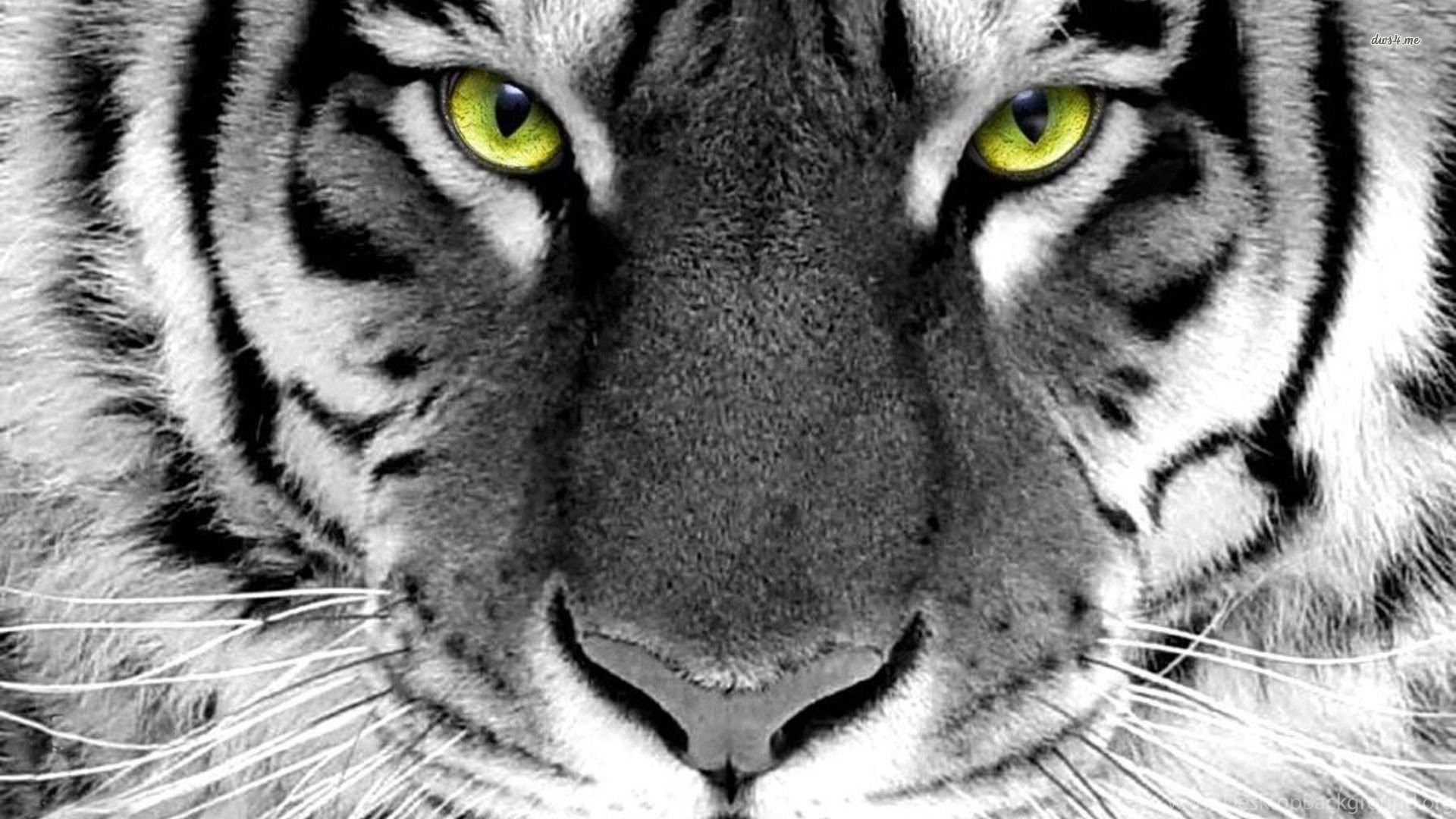 tiger hd animal wallpapers desktop background