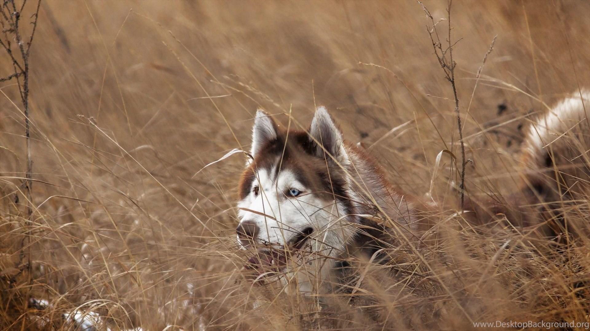 Siberian Husky Wallpaper Hd 1600 X 900