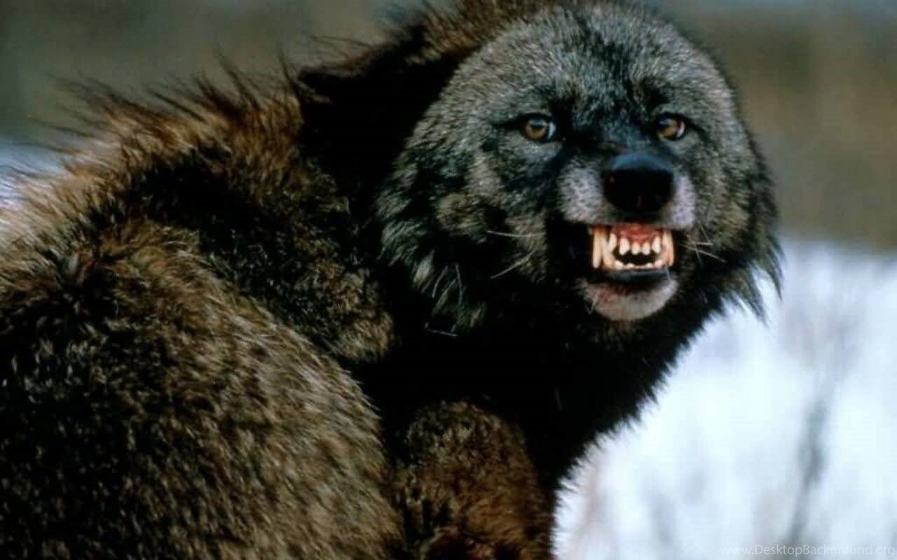 Must see Wallpaper Angry Gray Wolf - 64336_angry-gray-wolf-800x600px_1280x800_h  You Should Have_919338      .jpg