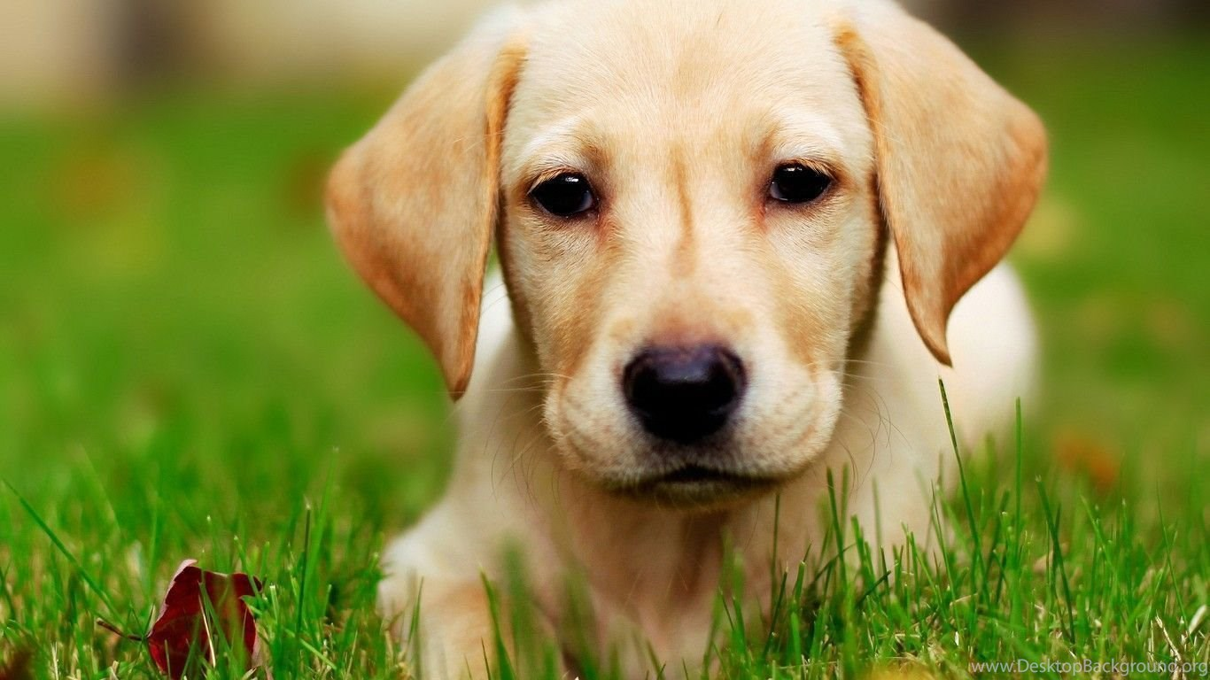 Puppies Pictures That Are Cute Hd Cute Puppy Wallpapers Hd