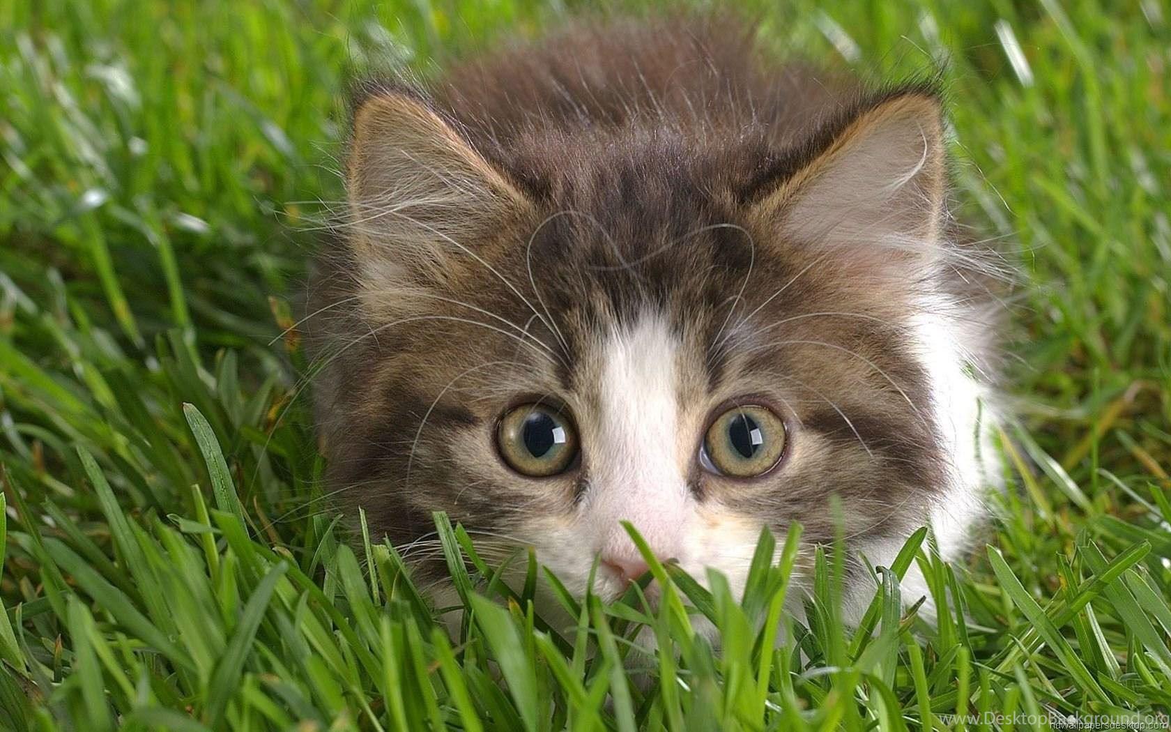 Desktop Hd Wallpapers Of Cats And Kittens Desktop Background