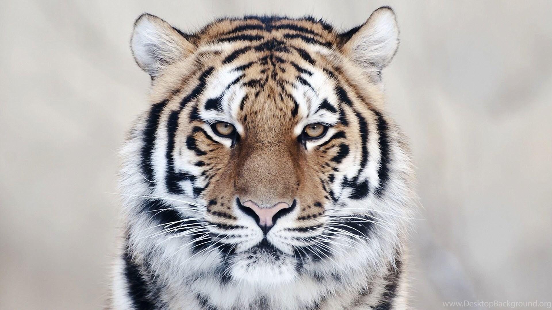 tiger wallpapers hd download desktop background