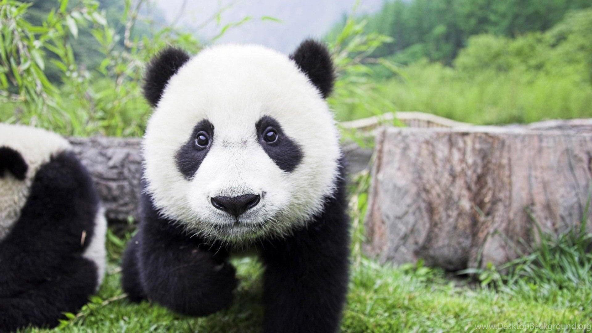 Cute Baby Panda Wallpapers Wallpaper Desktop Background